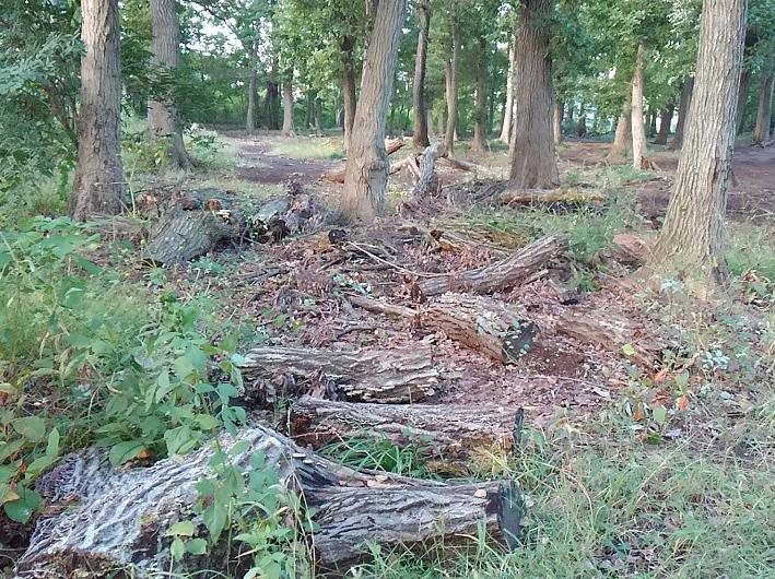 大径木化し、倒木が放置される雑木林