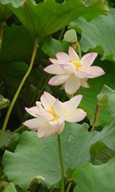夏に見ごろとなる池のハス