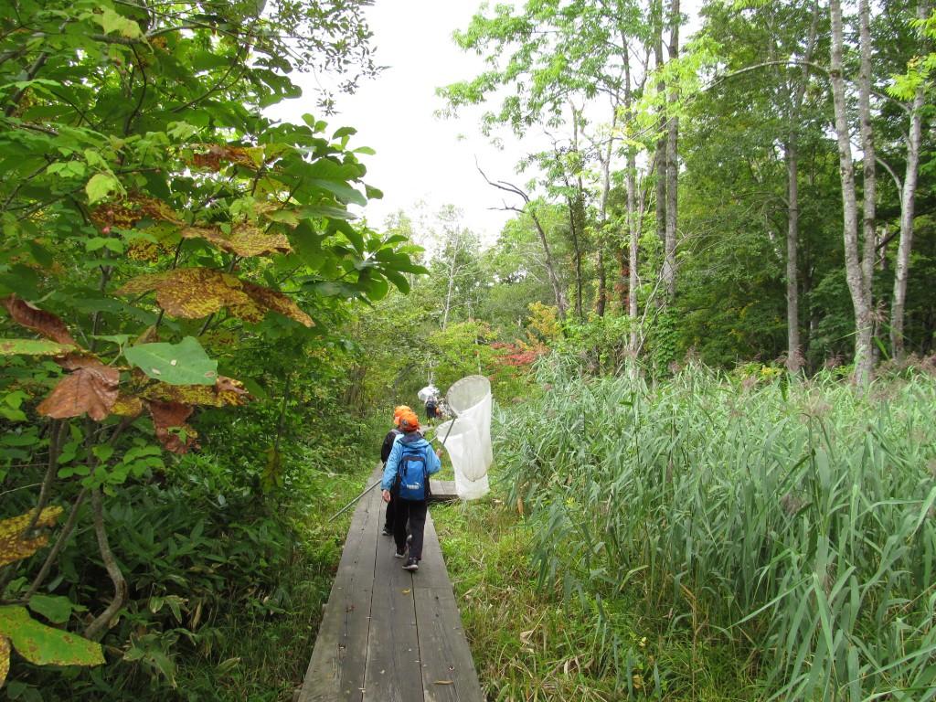 西岡公園の湿原の中に敷かれた木道