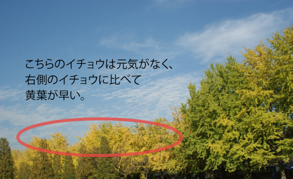 151006イチョウ並木