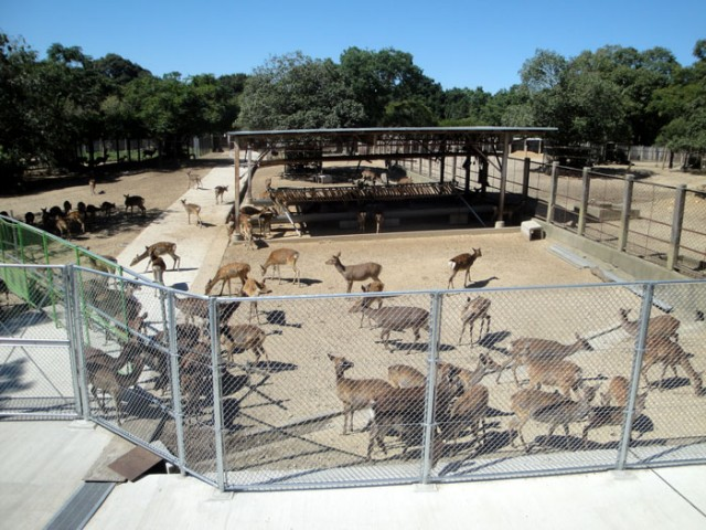 鹿苑(ろくえん)に保護されているシカ