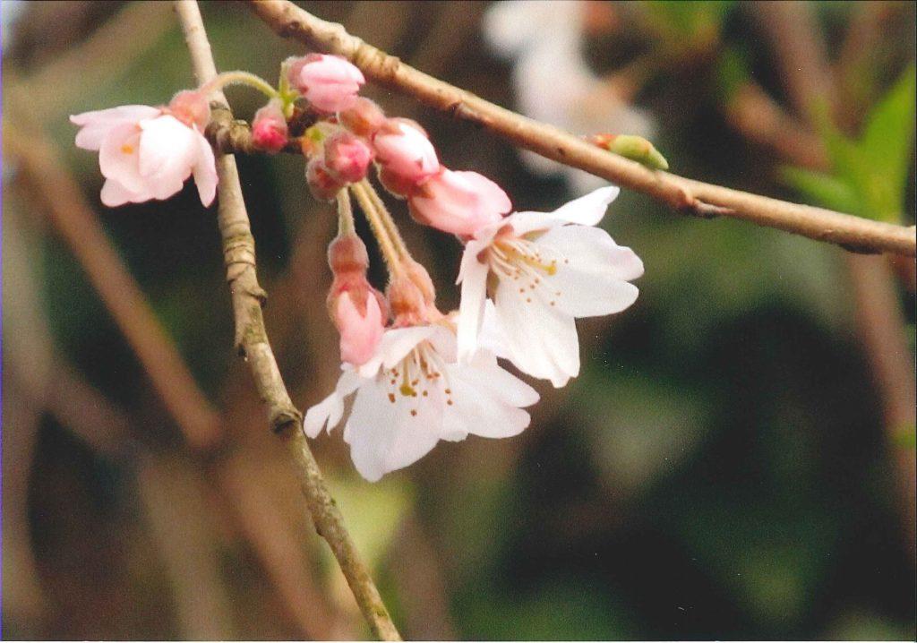 エドヒガンの花