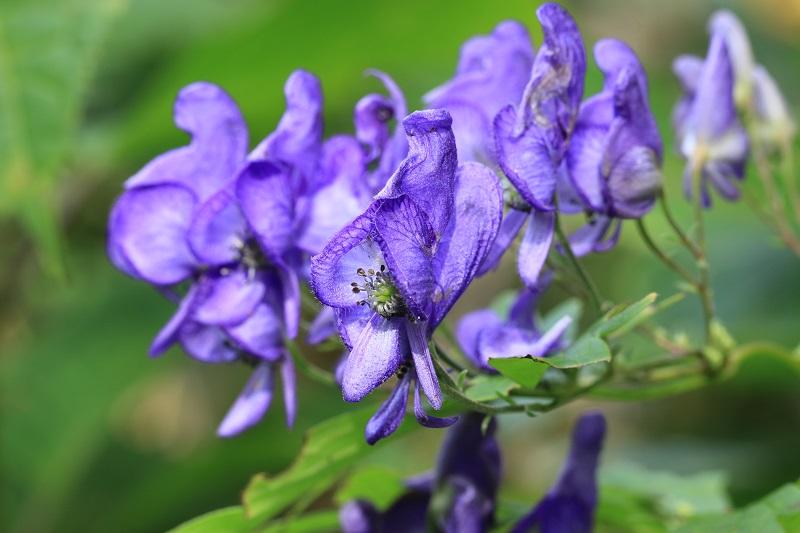 エゾトリカブトの花