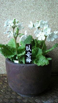 特に古い品種の一つ「臥龍梅」