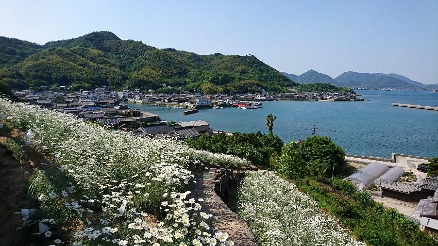 写真5 重井港を見下ろす丘の斜面の観光用除虫菊畑