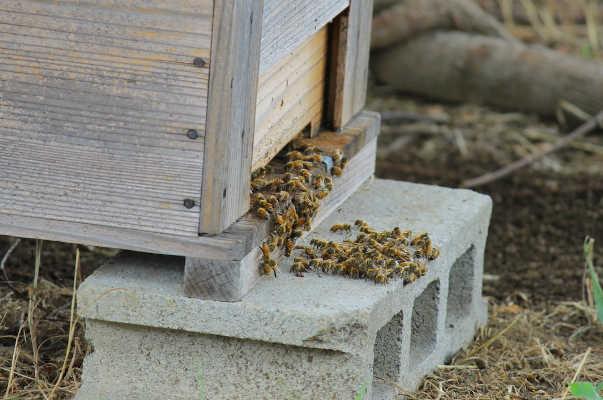 公園では養蜂も行っており、ミツバチを観察するプログラムは人気が高い。