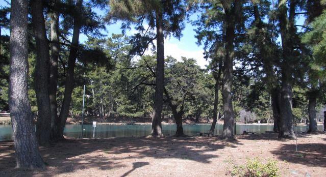 マツ林の中の池