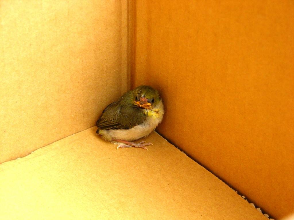 誤って拾われてしまったメジロの巣立ちヒナ写真提供:公益財団法人 日本鳥類保護連盟