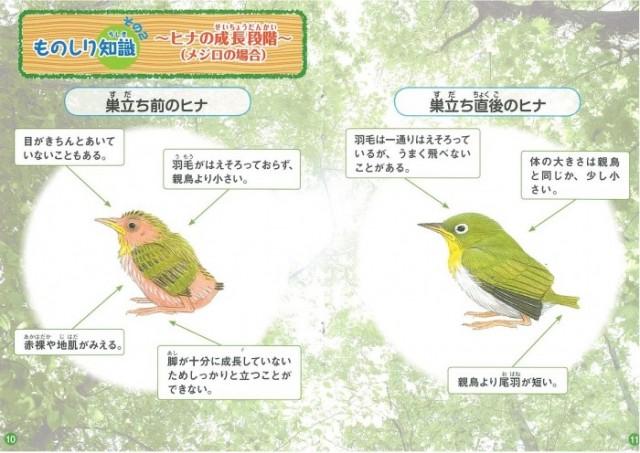 ヒナの成長段階出展:「ヒナとの関わりがわかるハンドブック」イラスト:水谷高英発行:日本野鳥の会