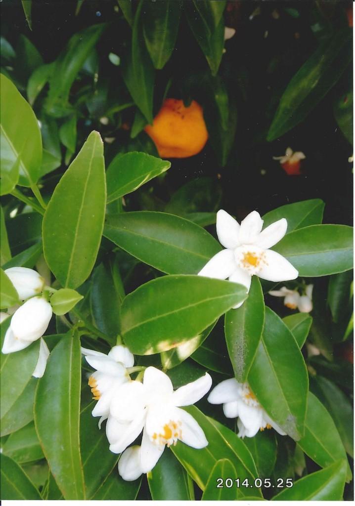 タチバナの花と実<br>前年の実が花時にも残っている<br>(京都武田薬用植物園にて)