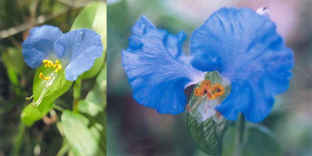 (左)道端に生えているツユクサ<br>(右)青花紙をつくるオオボウシバナ