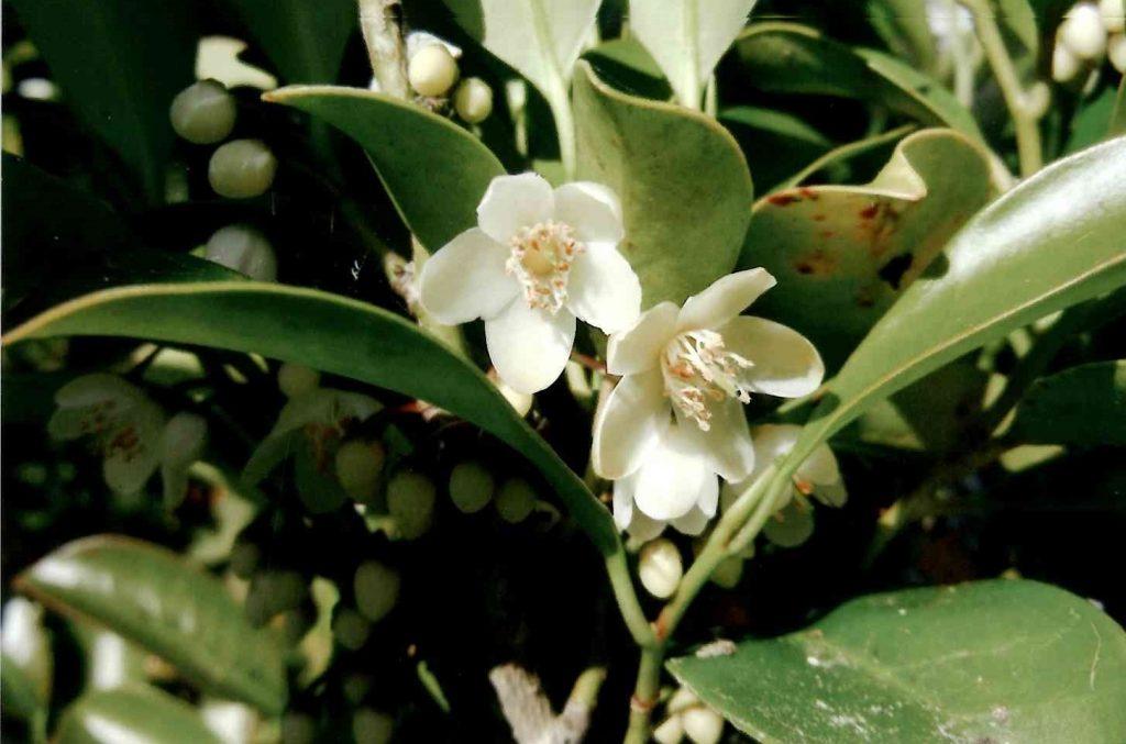 写真3 ロウ細工のような乳白色の厚みのある花を下向きに咲かせる