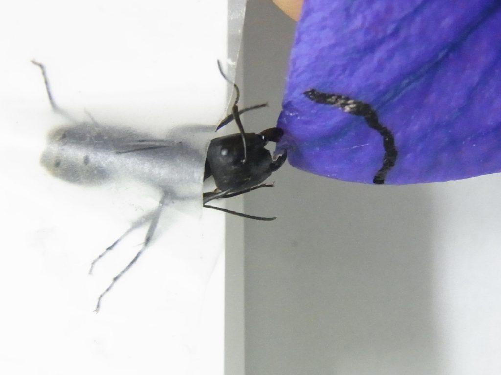 図1 キキョウを咬む蟻