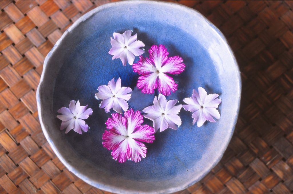 サクラソウの花は合弁花<br/>まだ綺麗なままほろほろと散る
