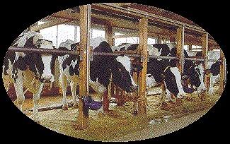 牛は神経質なので、特に音への配慮が必要<br>(株式会社 柏木牧場HPより)
