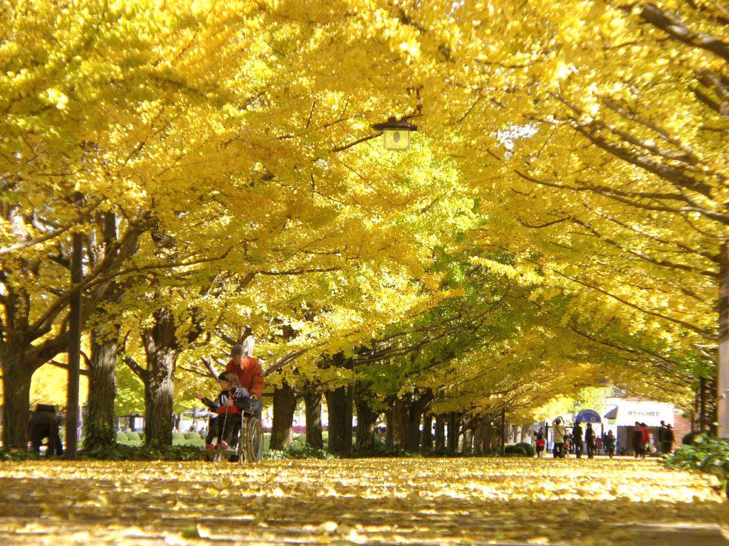 11月から黄葉が楽しめる国営昭和記念公園のイチョウ並木