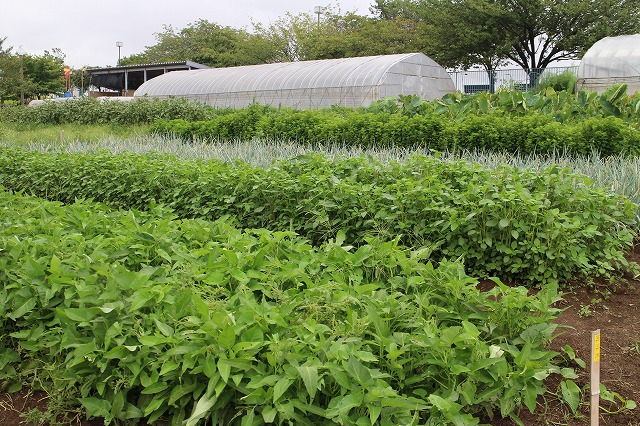 クウシンサイ、モロヘイヤ、ネギ、サトイモなど様々な野菜を育てている畑。