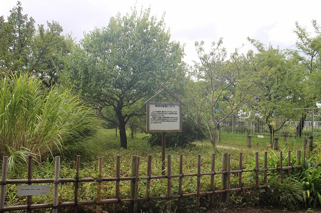 ウメにアブラムシが付くのを防ぐために、アブラムシが好む草を選んで植えている梅林。