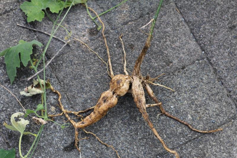枝分かれした根