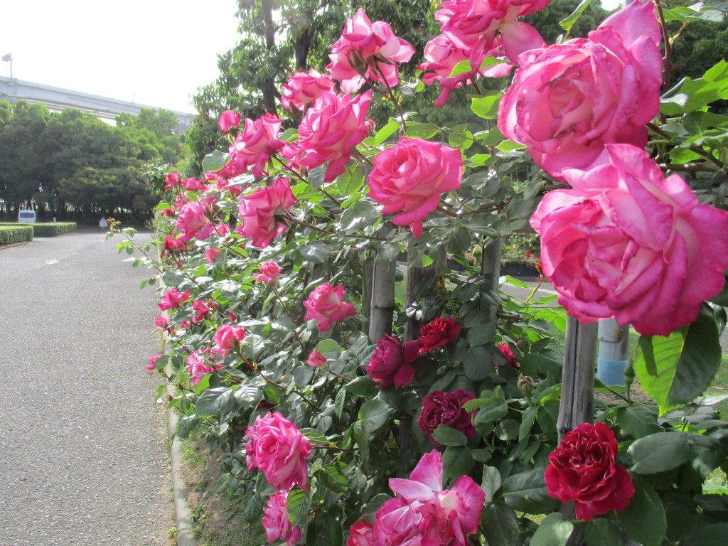 約70mの竹垣に沿って仕立てたつるバラ