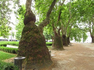 特異な樹形のモミジバスズカケノキの並木。胸高直径は平均で約5m。