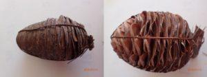 ワイヤーで縛った毬果(右側が乾燥してひらいてきている)