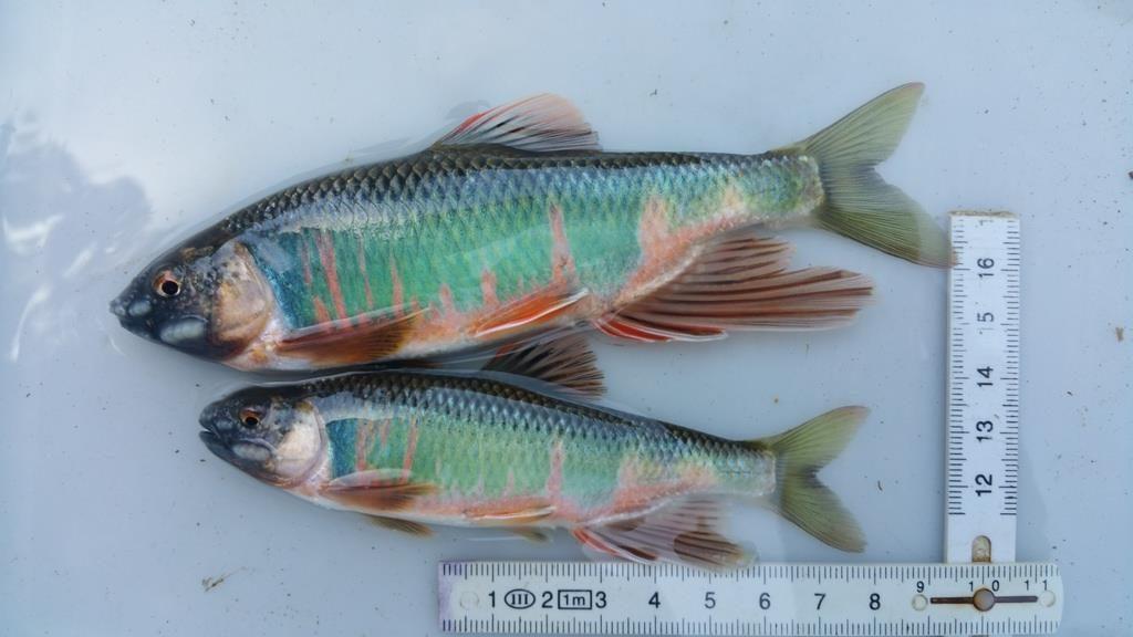 虹色に輝くオイカワは好きな魚のひとつ