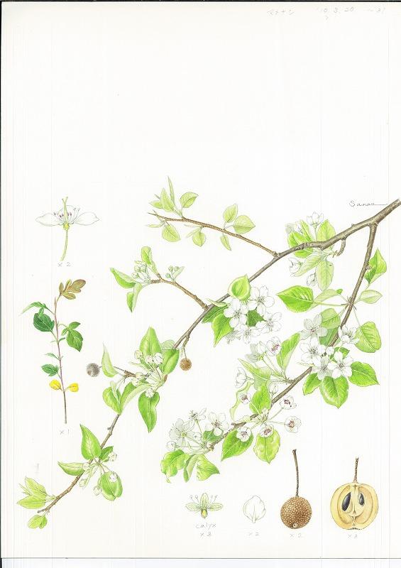 10日程度で描いた植物画
