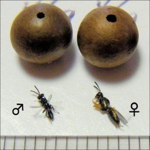 写真6 脱出虫えいと寄生蜂A(1mm目盛)