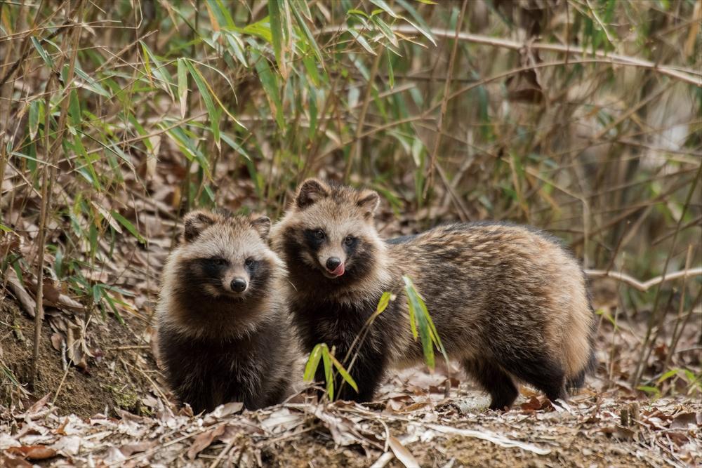 巣穴前のタヌキ夫婦