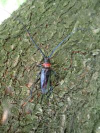 クビアカの成虫は6月から8月に発生する<br>(写真提供:栃木県)