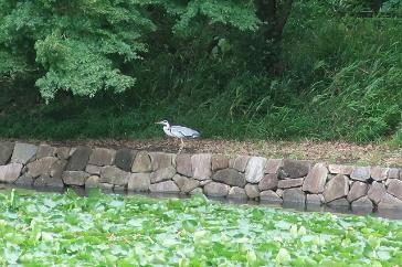 緑豊かな三ツ池公園では様々な生き物がみられる(中央にいるのはアオサギ)