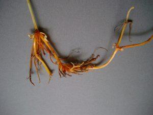 アカネの根