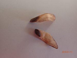 翼のあるマツの種子