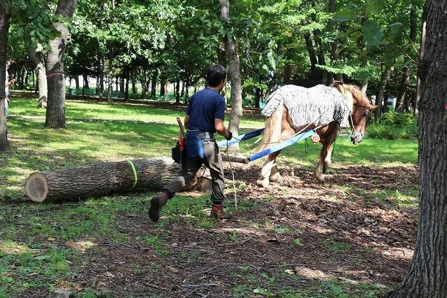 「ふゆフェスタ」で馬そりをした馬が「なつフェスタ」では馬搬をする