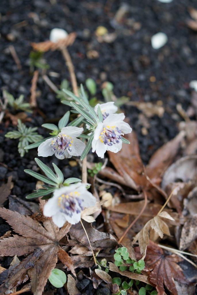モミジの落ち葉と比べるとわかるように、<br/>セツブンソウの花はとても小さい