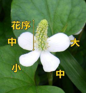 花びらには大中小の3通りの大きさがあります