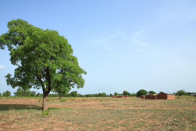 幹はコルク層に覆われ、乾燥に強いシアバターノキ