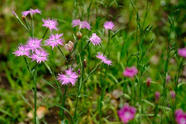 草丈30~50㎝で風に揺れる様が美しい