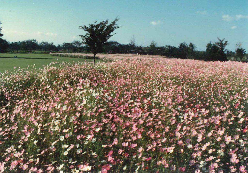 昭和61年秋に初めて咲かせた原っぱ東花畑の風景