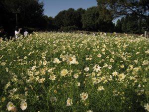 コスモスの短日性を利用し、長期間楽しめるようにしたイエローガーデンの花畑 (2020年国営木曽三川公園)