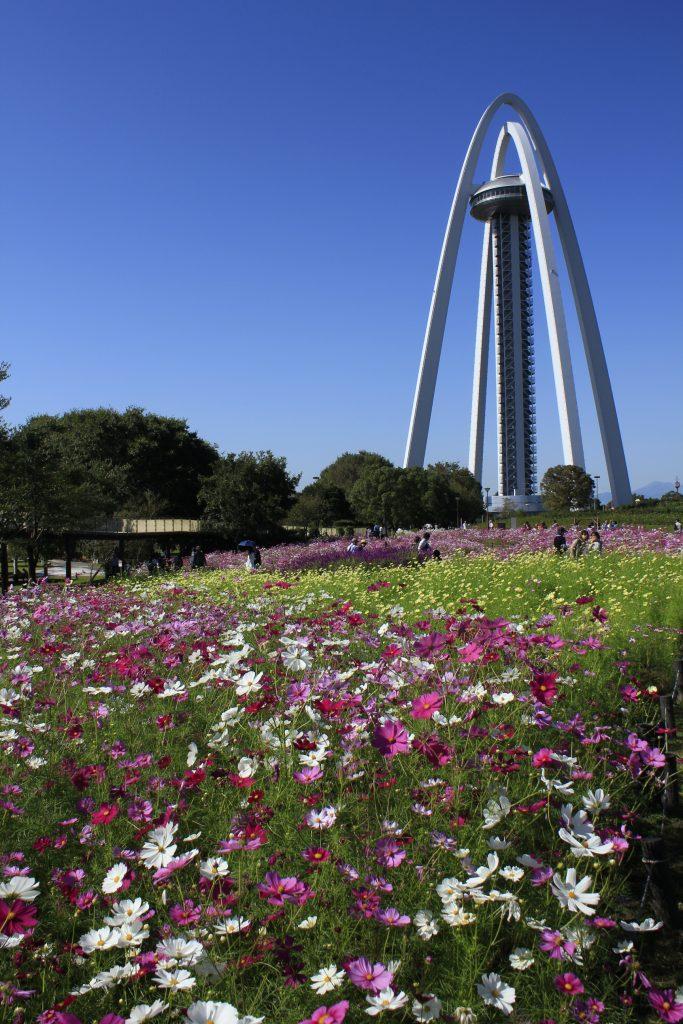 国営木曽三川公園138タワーパークのコスモス畑